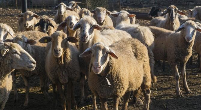 Задигнаха 6 овце от кошара в Мизия