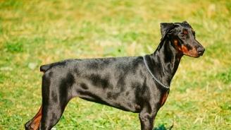 В Сливен ще глобяват собственици на кучета без повод