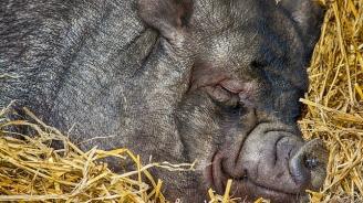Всички диви свине в ловно стопанство край Каварна ще бъдат унищожени