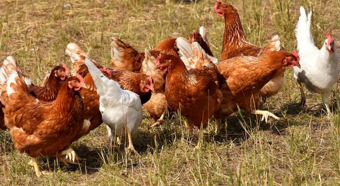 БАБХ: 9900 домашни и диви птици са умъртвени заради птичи грип