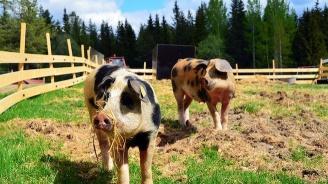 БАБХ и свиневъдите нищят африканската чума