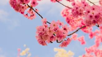 Гости от Окаяма засадиха японска вишна в Пловдив