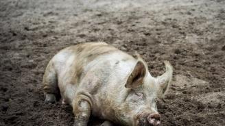 Белгия разследва: Военните разпространили чумата по свинете?