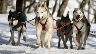 Кучешките впрягове ще се движат по магистралите в Дания
