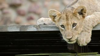 Двумесечно лъвче бе открито в Ламборгини в Париж (видео)