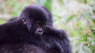 Популациите на планинските горили и финвалите се увеличават