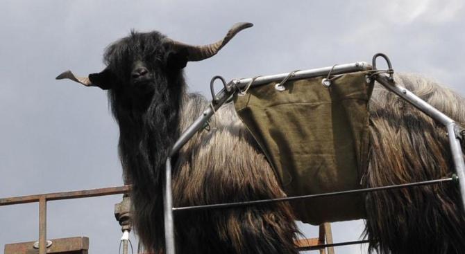 Мъж с краден козел стана повод за прекъсване на движението