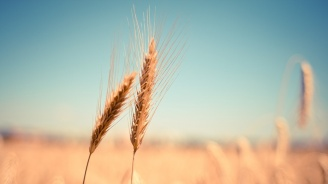 В Пернишка област с пшеница са засети 134 450 дка