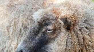 Адвокати поискаха втори кръвни проби от стадото в Болярово заради чумата