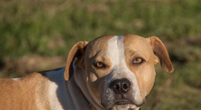 Питбул нахапа мъж и кучето му по време на разходката
