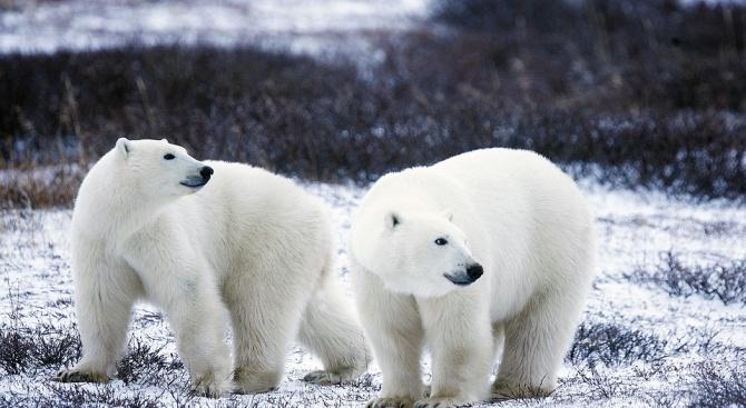 В Арктика въвеждат правила при срещи с бели мечки