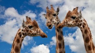Жирафите предпочитат да се хранят с компания