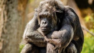 Шимпанзе върна открадната селфи пръчка на посетител в зоопарк (видео)