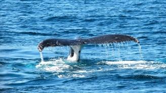 Почти 30 кита бяха открити изхвърлени по австралийските брегове