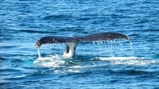 Близо 30 кита бяха открити изхвърлени по австралийските брегове
