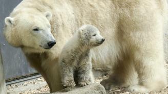 Полярно мече се роди в зоопарка в Берлин