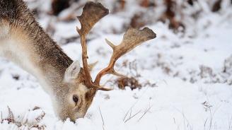 Заснеха бяло северно еленче в Норвегия (снимки)