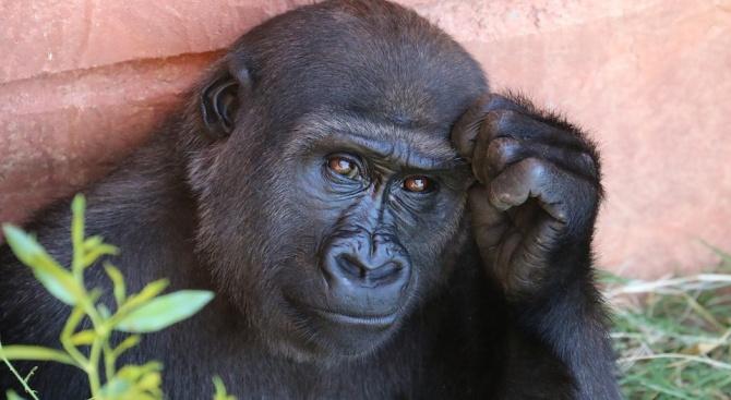 Големите маймуни и гарваните може и да неса толкова умни,