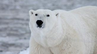 Бъдещето за полярните мечки и тихоокеанските сьомги не е ясно