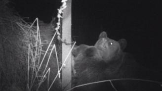 Камери заснеха мечка и малкото ѝ в имот в Пернишко