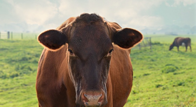 Крава е била застреляна в центъра на с. Горно Спанчево,