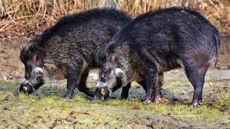 Момчил Неков: ЕК трябва да се намеси пряко и целево, за да се спре разпространението на африканската чума по свинете