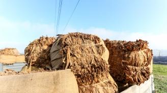 Над 74% от тютюнът реколта 2018 в България е изкупен (снимки)