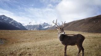 Северният елен е на път да стане застрашен вид заради глобалното затопляне