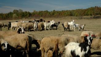 БСП плати за изследване от независима лаборатория на стадото с чума от Болярово