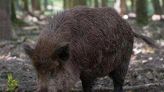 Откриха Африканска чума при дива свиня в Силистра