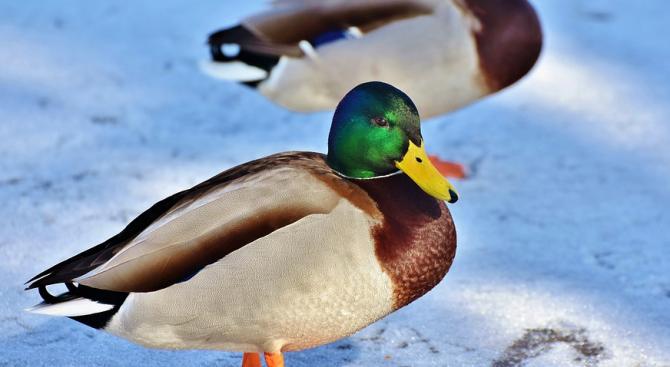 Студената вълна ще доведе птици от застрашен вид на Шабленското и Дуранкулашкото езеро