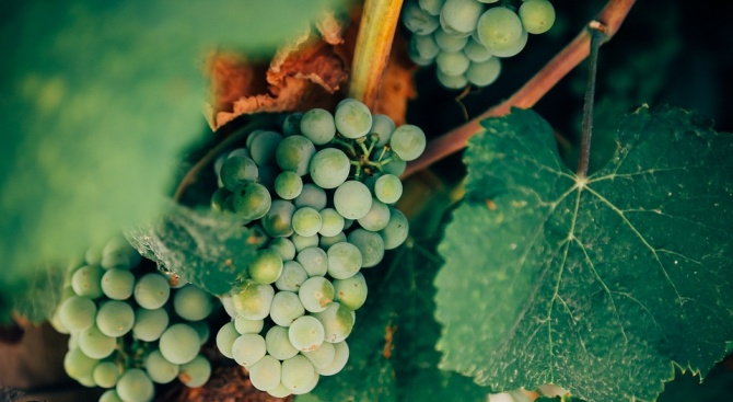 Лозарите в Добрич подготвят партиди вино за надпреварата на Трифон Зарезан