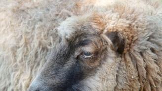 БАБХ облекчава рестрикциите за движение на дребни преживни животни и продукти в областите Ямбол, Бургас и Хасково