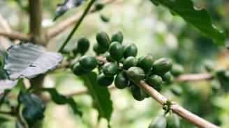 Застрашени са 60 процента от видовете диворастящо кафе