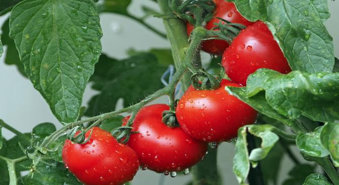 Испански учени установиха, че ароматът, излъчван от доматите, може да