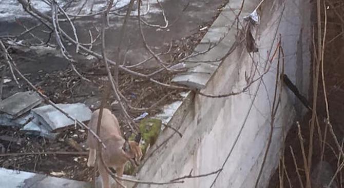 Снимки на каракал, който се разхожда из Пловдив, взривиха социалните
