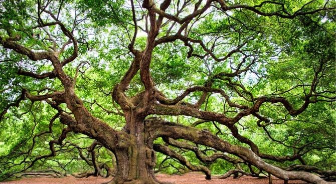300-годишен дъб от трънското село Рани луг беше избран за