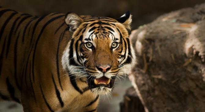 Тигрица от Чехия пристигна в зоопарка в Хасково
