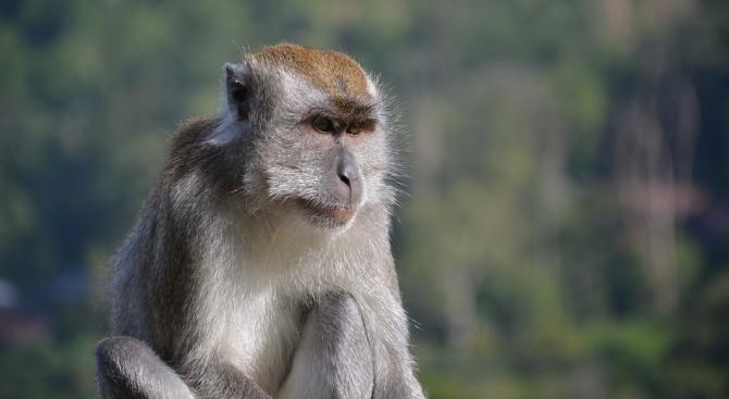 Учени от Китай са клонирали пет маймуни от макак с