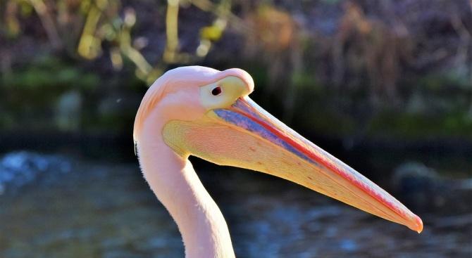 Прострелян розов пеликан лекуват в Спасителния център за диви животни