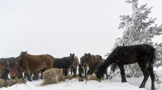 Десетки коне умират обледенени под хижа Паскал