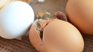 Генномодифицирано пиле може да помогне в борбата с птичия грип