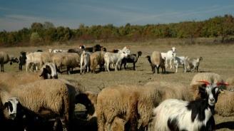 Остава контролът на БАБХ за чумата по  дребните преживни животни