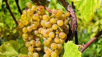 Започваприем на заявления по новата лозаро-винарска програма
