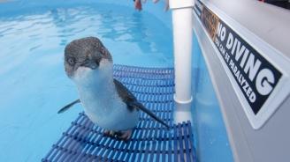 Откраднаха три малки сини пингвинчета в Нова Зелендия