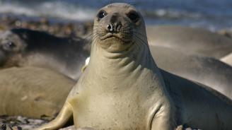 Морски слонове превзеха калифорнийски плаж