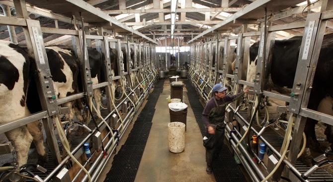 Животновъдни ферми в страната затварят заради липса на работна ръка
