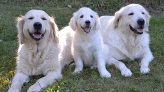 Стотици кучета преминаха през град Голдън