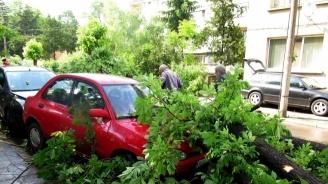 Община Ловеч започва премахването на болни дървета