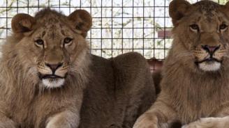 Лъвчетата Терез и Масуд са пораснали и се чувстват добре (снимка + видео)